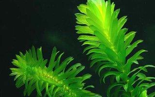 Водяная зараза или просто элодея: выращиваем в аквариуме