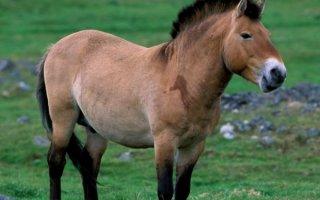 Лошади Пржевальского – дети монгольских степей