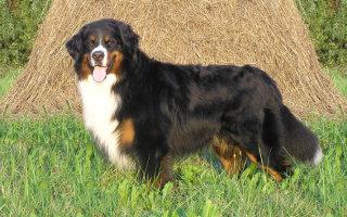 Составляем рейтинг лучших пастушьих собак
