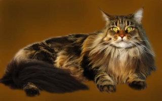 Мейн кун – умная и самая большая кошка в мире среди домашних пород