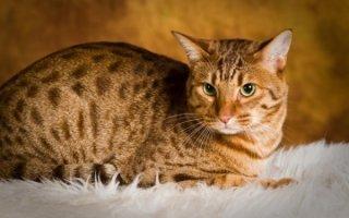 Знакомимся с кошками с диковинным окрасом