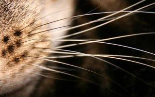 Как решить проблему авитаминоза и выпадения усов у кошек?
