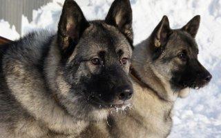 Древний символ и национальное достояние Норвегии – Норвежская лосиная собака