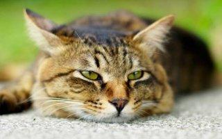 Что необходимо знать любящему хозяину о кастрации котов?