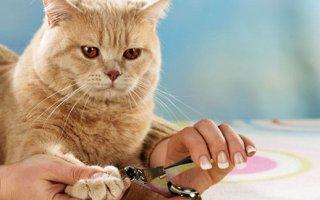 Кошачий маникюр: все, что нужно знать владельцам о стрижке когтей