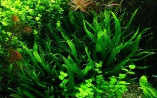 Папоротники – прекрасно украсят ваш аквариум