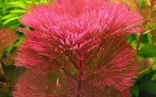 Кабомба – описание и основы выращивания