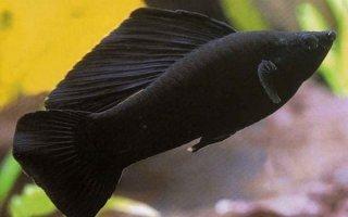 Прекрасные живородящие рыбки моллинезии