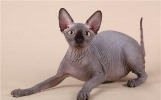 Невероятные факты об одной из редких и экзотических пород кошек – Канадский сфинкс