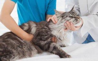 Какие симптомы чумки у кошек