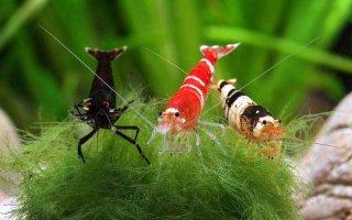 Креветки – ракообразные жители аквариума