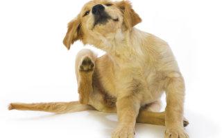 Как почистить уши собаке без посторонней помощи