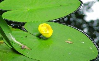 Желтая кувшинка – кусочек лета в аквариуме