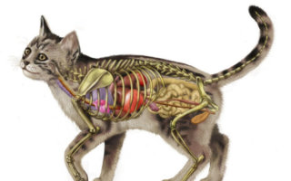 Краткий экскурс в мир кошачьей анатомии