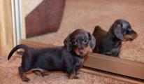 Описание породы собак Такса, классификация, советы по уходу и воспитанию