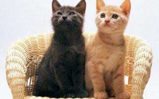 Можно ли подружить двух кошек?
