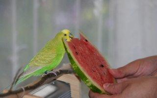 Кормление Волнистых попугаев от А до Я