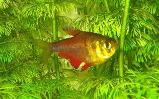 Маленькие и активные тетра рыбки