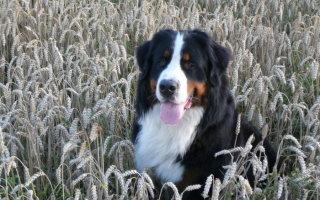 Зенненхунд – швейцарская пастушья собака