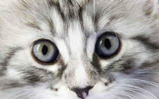 Что делать, если вы заметили гной в глазу вашего котика