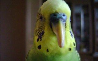 Распространенные заболевания клюва и лапок у попугаев