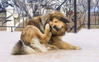 Почему собака трясет головой и чешет ухо?