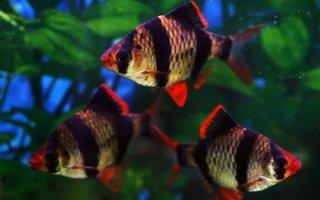 Барбусы – шустрые обитатели домашних аквариумов