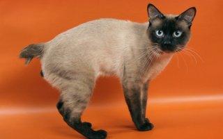 Кошечки породы Меконгский Бобтейл – ожившая легенда