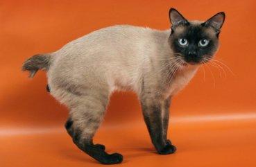кот тайский бобтейл
