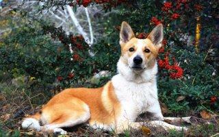 Они сильны, выносливы, активны и сообразительны – редкие служебные собаки
