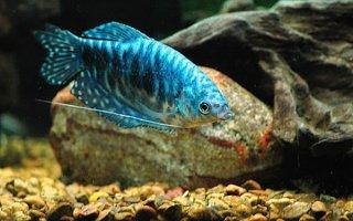 Мраморный гурами – одна из самых любимых рыбок
