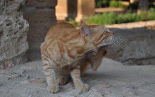 Что делать, если у кошки завелись блохи?