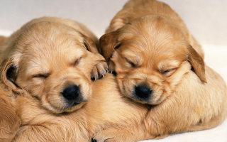 Появление щенков на свет: что нужно знать о родах собак?