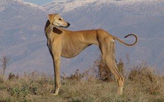 Породы борзых собак разных стран и континентов