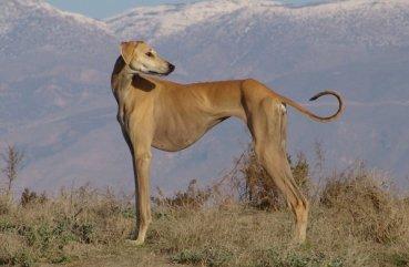 Характеристика борзых пород собак - Тазы, Хортая, Ивисская, Гальго и других