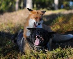 Собака борется с лисой