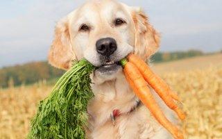 Выбираем рацион для собаки: натуральная еда против сухого готового корма