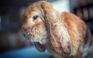 Частые недуги декоративных кроликов: как распознать и что делать?