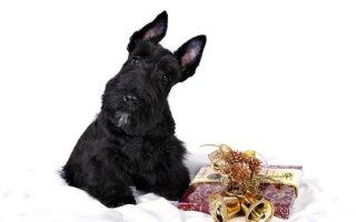Скотч Терьер – собака родом из Шотландии