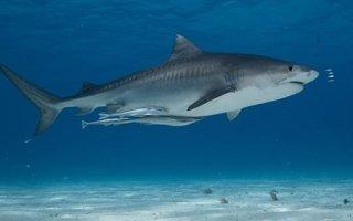 Акула у вас дома – рыбка для опытных аквариумистов