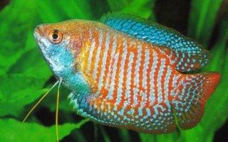 Гурами – любимый и частый обитатель домашних аквариумов