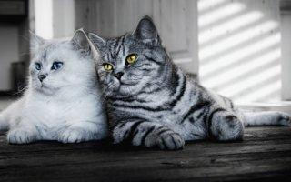 Такие разные и прекрасные британские кошки: разбираем окрасы