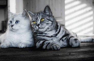 разновидности британских кошек