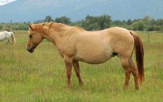 Забытая, но прекрасная «дикая» масть лошадей – каурая