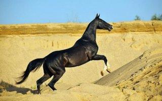 Аргамаки или «небесные» кони из Туркменистана – знакомимся с Ахалтикинской породой