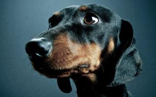 Такса – одна из самых интересных пород охотничьих собак