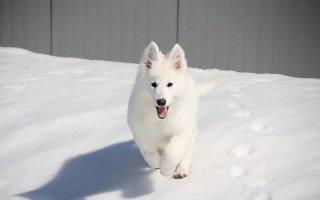 Все о снежной красавице – Белой швейцарской овчарке