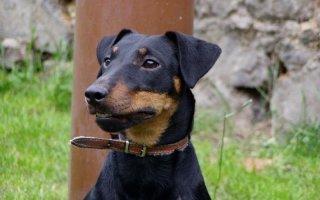 Немецкий ягдтерьер – собака для опытного заводчика