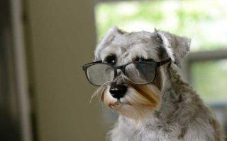 Идеальная собака-компаньон небольшого размера – Цвергшнауцер