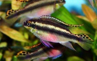 Яркий попугайчик в аквариуме – Пельвикахромис